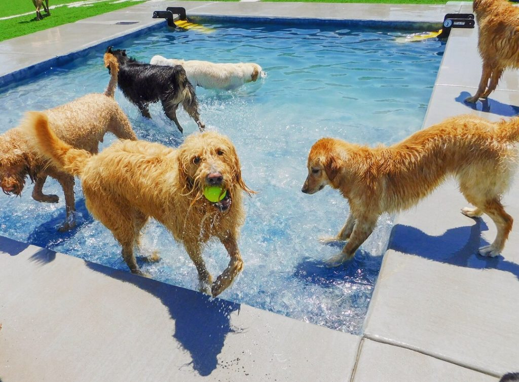 4 golden retrievers playing in the doggy daycare pool at Woodland West Pet Resort in Tulsa, Oklahoma