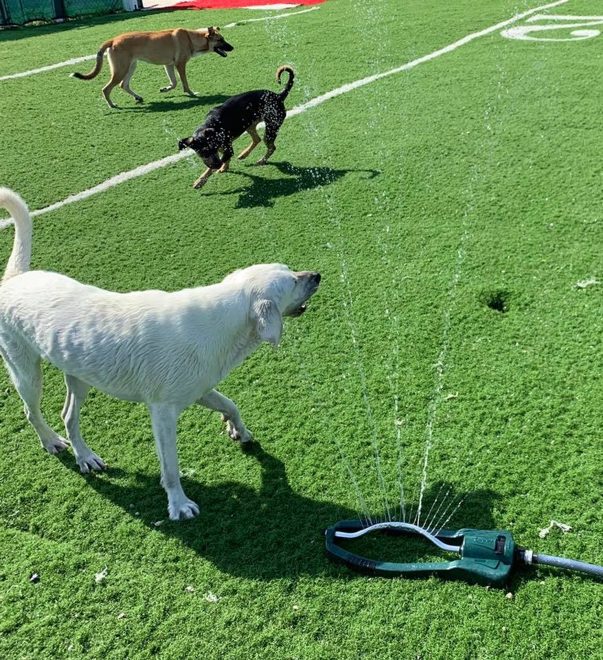 White lab playing with the sprinkler in the doggy daycare park a Woodland West Pet Resort in Tulsa, Oklahoma